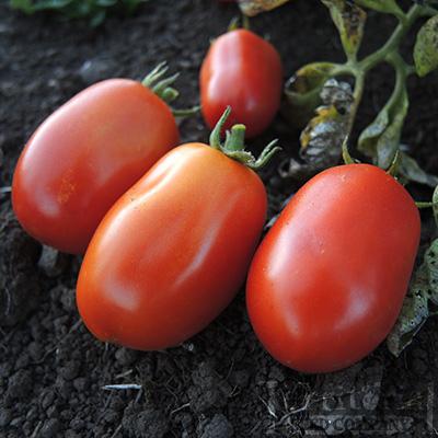 Tomato 'Heinz 2653'
