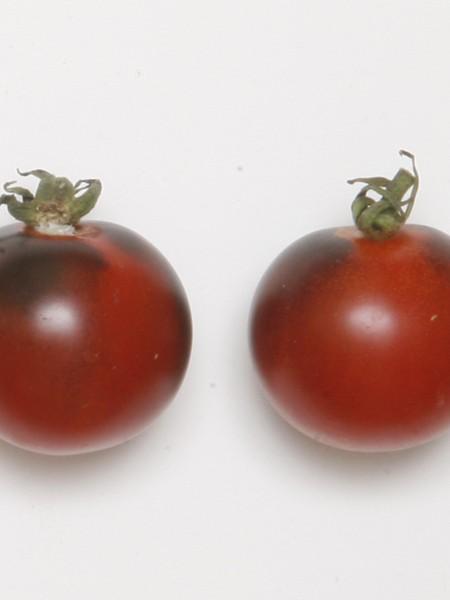 Tomato INDIGO™ 'Indigo Cherry Drops'