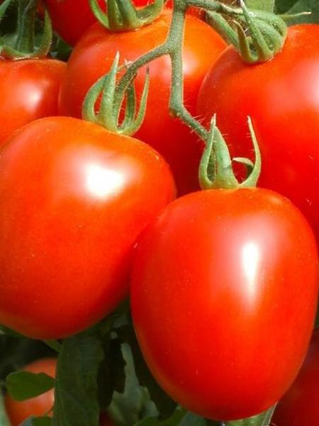 Tomato 'Oregon Spring'