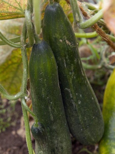 Cucumber 'Coolcumber' Grafted Mighty Veggie