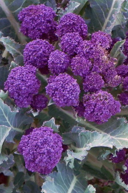 Broccoli 'Red Matador'