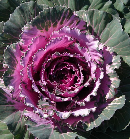 Flowering Cabbage 'Osaka Red'