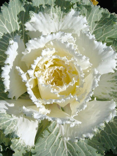 Flowering Cabbage 'Osaka White'