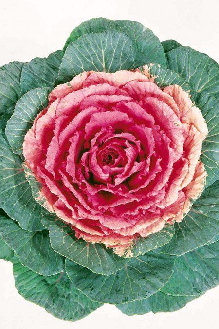 Flowering Cabbage 'Tokyo Red'