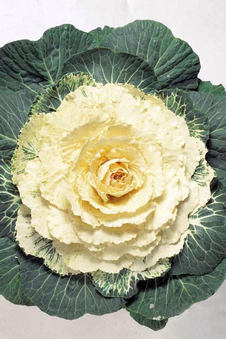 Flowering Cabbage 'Tokyo White'