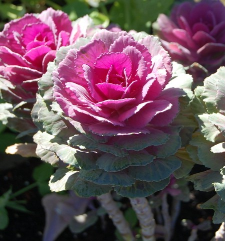 Flowering Kale 'Crane Red'