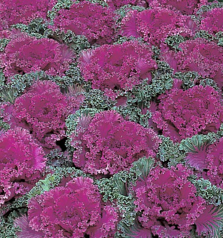 Flowering Kale 'Nagoya Red'