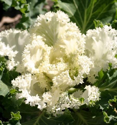 Flowering Kale 'Nagoya White'