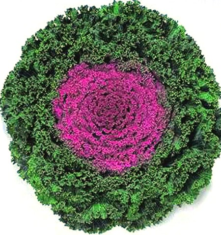 Flowering Kale 'Kamome Red'