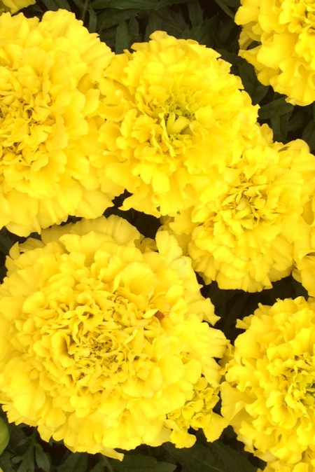 Tagetes erecta 'Taishan Yellow'