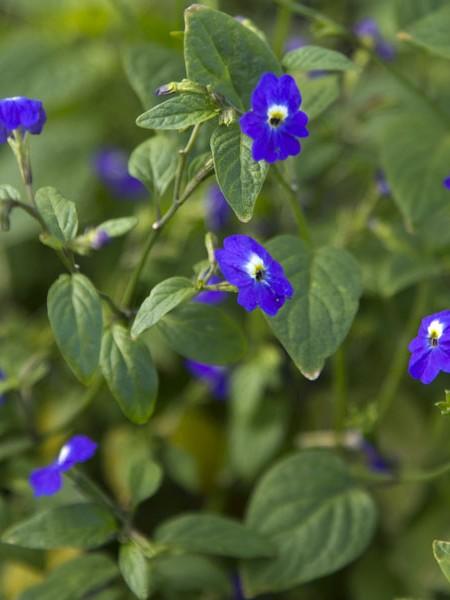 Browallia sp. 'Assam'