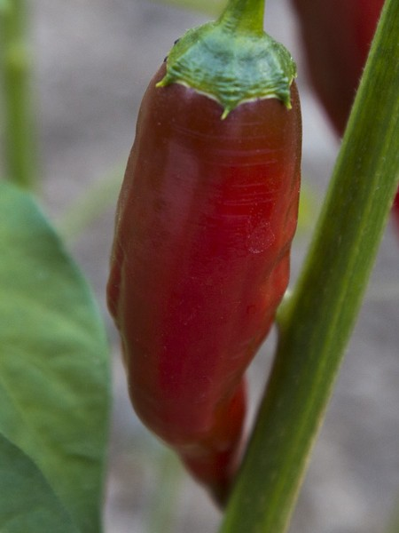 Pepper (Hot) 'Malagueta'