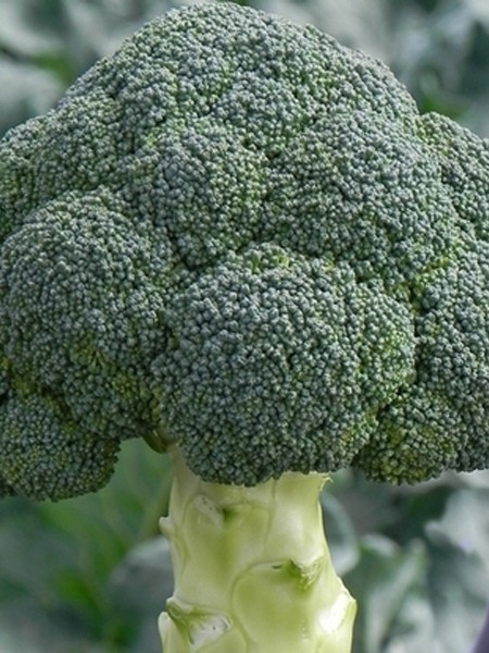 Broccoli 'Emerald Jewel'