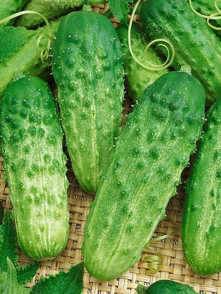 Cucumber 'Pick a Bushel' F1 Pickling