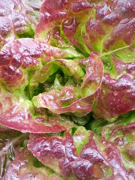 Lettuce 'Better Devil' Butterhead