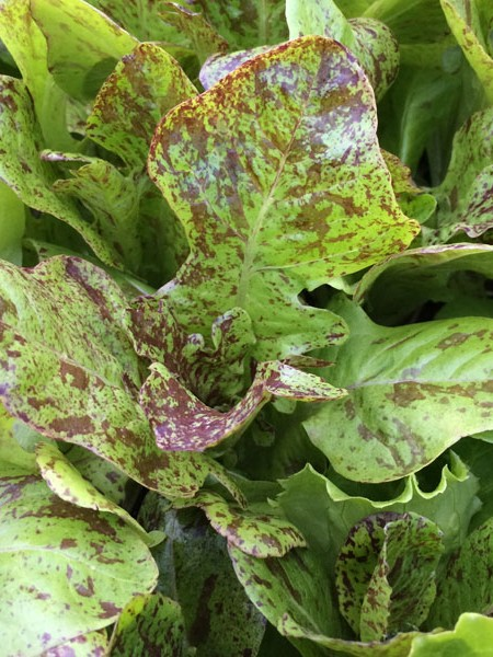 Lettuce 'Flashy Butter' Oakleaf