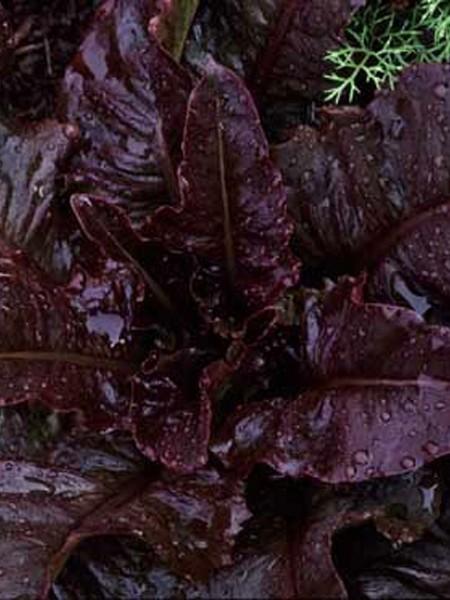 Lettuce 'Really Red Deer Tongue' Looseleaf