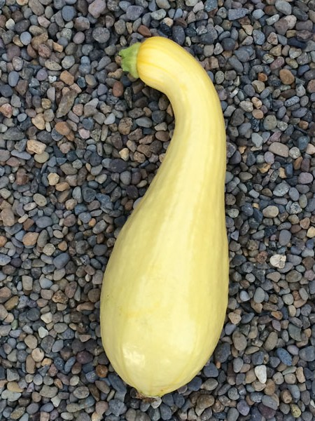 Squash (Summer) 'Dixie' Crookneck