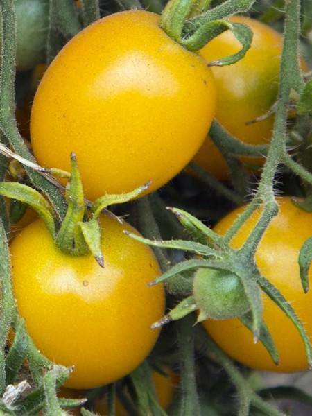 Tomato 'Lemon Cherry' Cherry Tomato