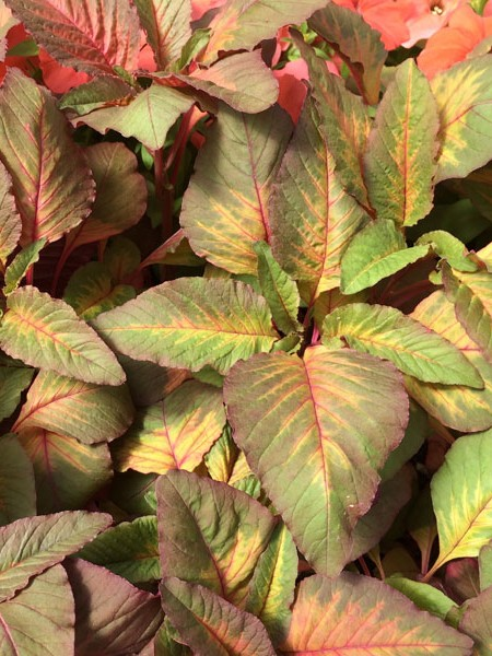 Amaranthus tricolor splendens 'Flaming Fountain'