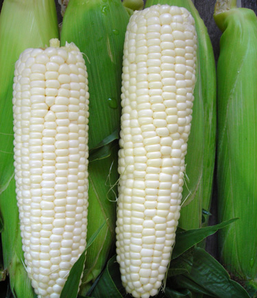 Corn 'Frosty' White