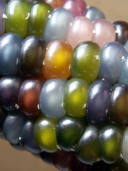 Corn 'Glass Gem' Multicolor