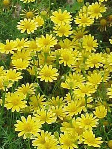 Dahlberg Daisy 'Golden Fleece'