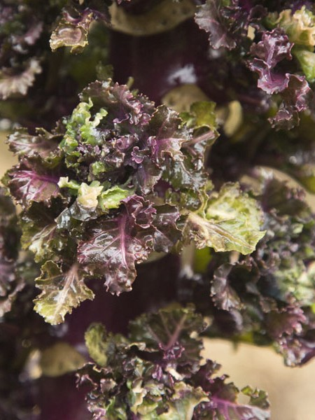 Brussels Sprouts x Kale KALETTES 'Mistletoe'