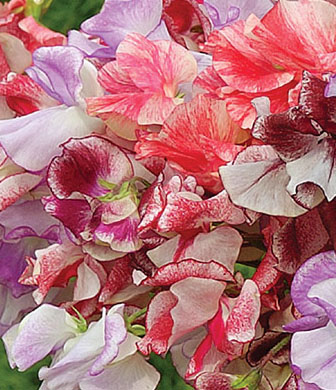 Lathyrus odoratus 'Ripple Mix' Spencer Sweet Pea