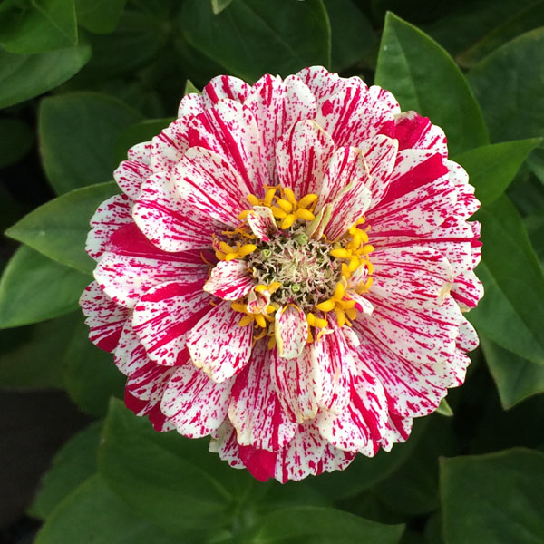 Zinnia elegans 'Pop Art White and Red'