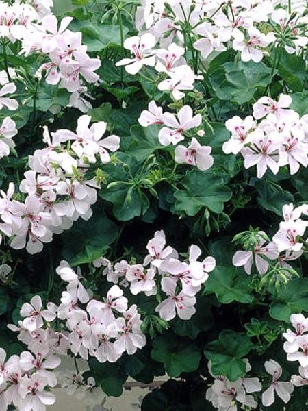Geranium 'Blizzard White' ivy geranium