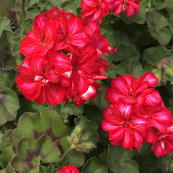 Ivy Geranium 'Focus Red Ice'