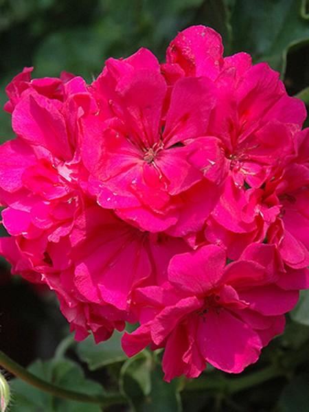 Geranium 'Focus Rose' ivy geranium