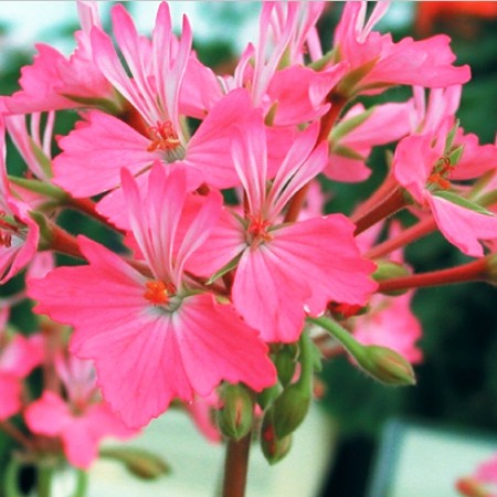 Geranium 'Lotusland' zonal