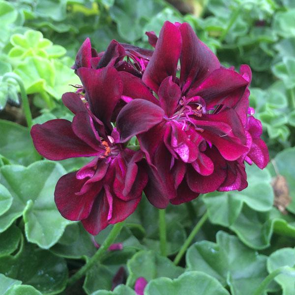 Geranium 'Precision Burgundy Dark' ivy geranium