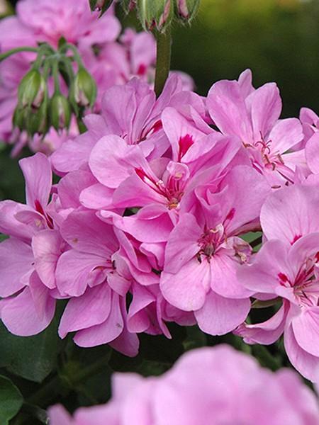 Geranium 'Precision Lavender Blue' ivy geranium