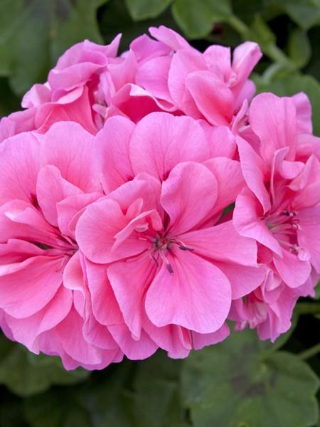 Geranium 'Precision Pink' ivy geranium