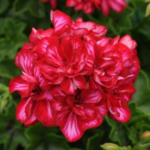 Geranium 'Precision Red Ice' ivy geranium