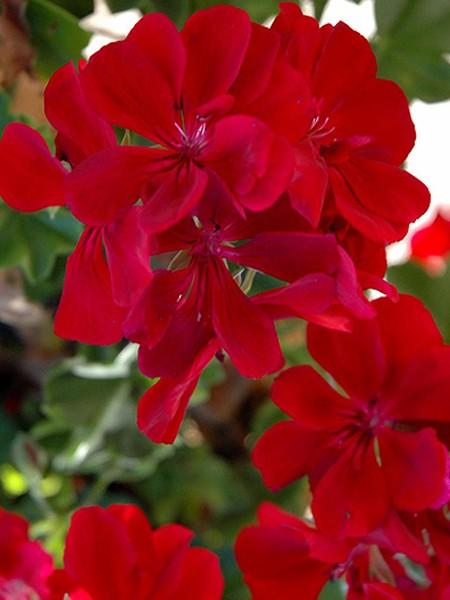 Geranium 'Precision Ruby' ivy geranium