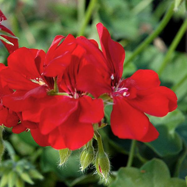 Geranium 'Precision Scarlet Red' ivy geranium