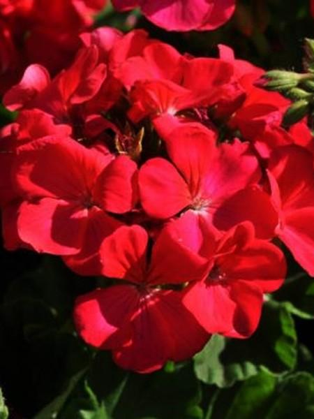 Geranium 'Presto Dark Fuchsia' zonal