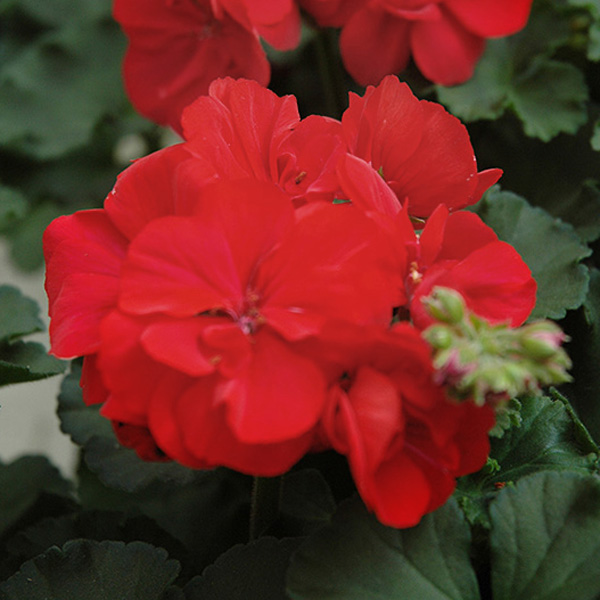 Geranium 'Presto Dark Red' zonal