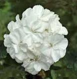 Geranium 'Presto White' zonal