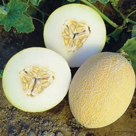 Melon 'Tabago' Mini Melon (muskmelon)