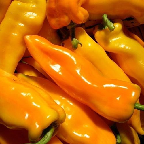Pepper (Sweet) 'Gatherer's Gold' non-bell