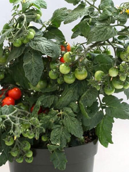 Tomato 'Sweet 'n' Neat Scarlet' Dwarf Determinate
