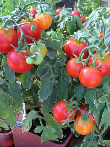 Tomato 'Sweet 'n' Neat Scarlet' Dwarf Determinate
