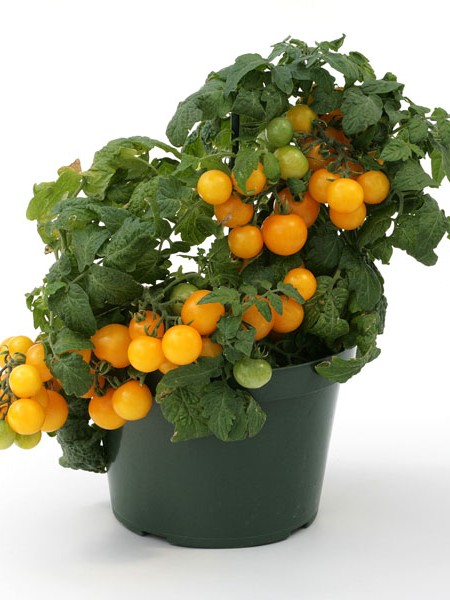 Tomato 'Sweet 'n' Neat Yellow' Dwarf Determinate