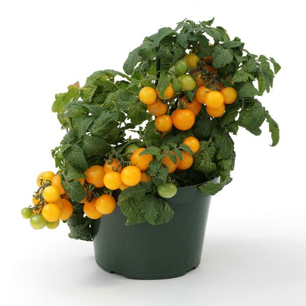 Tomato 'Sweet 'n' Neat Yellow' Dwarf Determinate