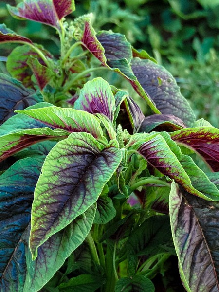 Amaranth 'Red Callaloo'